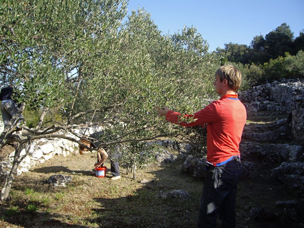 Things to do Korcula - Harvest